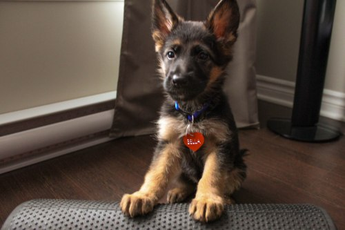 German Shepherd - 8 weeks