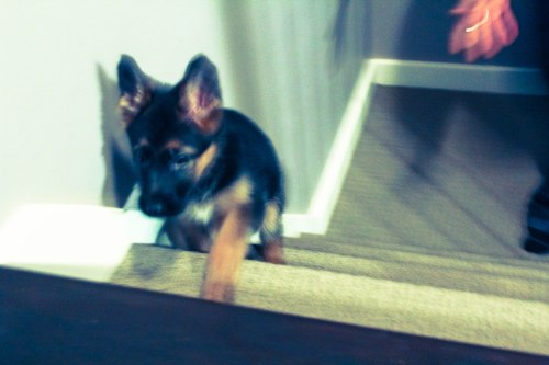 German Shepherd - 8 weeks - stairs