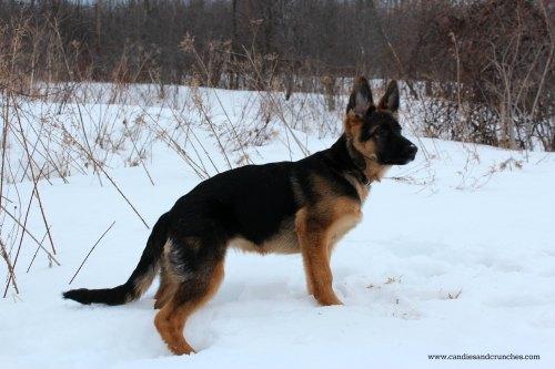 Bella 4.5 months - German Shepherd