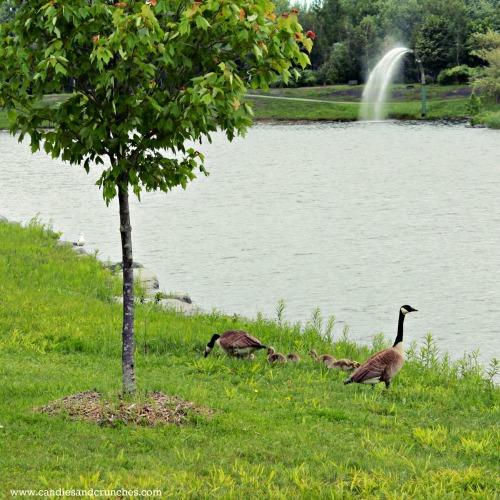 geese at parc de la cité